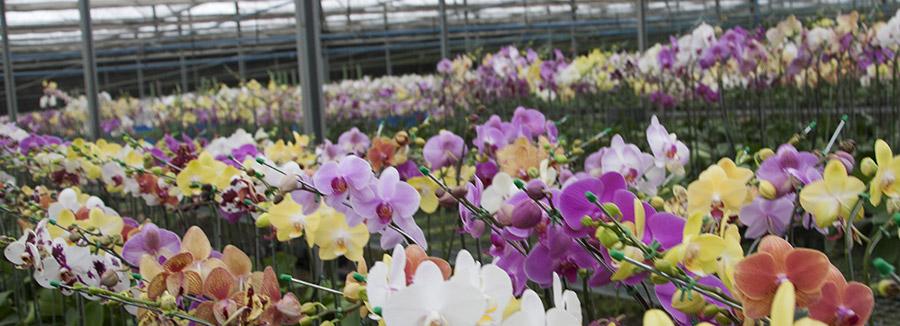 Tecnologia desperta o interesse na produção de flor