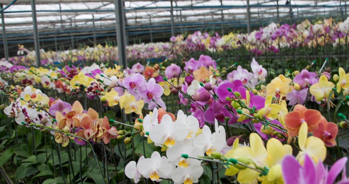 Tecnologia despertar o interesse na produção de flor